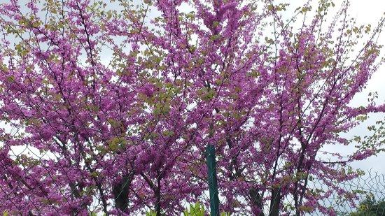 Bouglon, Frankrijk: arbres de judée en fleurs