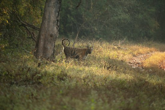 Kolara, Indien: Tiger marking terriory