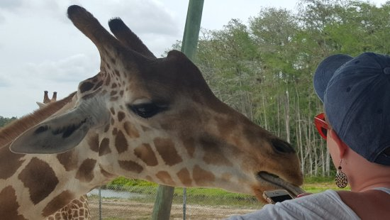 Loxahatchee, Floryda: Feeding the giraffes...