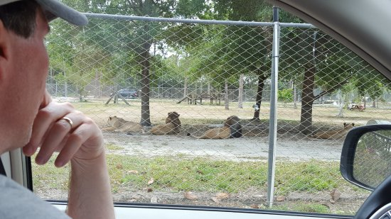 Loxahatchee, Floryda: The lions were the only animals separated from us by a fence ....