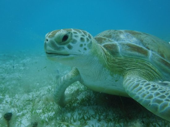 Caneel Bay, St. John: Snorkling and swimming with the green turtles in Scott Bay St John US Virgin Islands