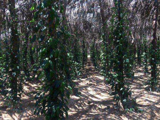 Кампот, Камбоджа: La Plantation