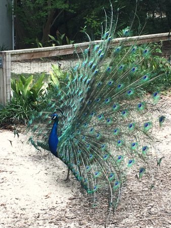 Crestview, FL: Peacock in his glory