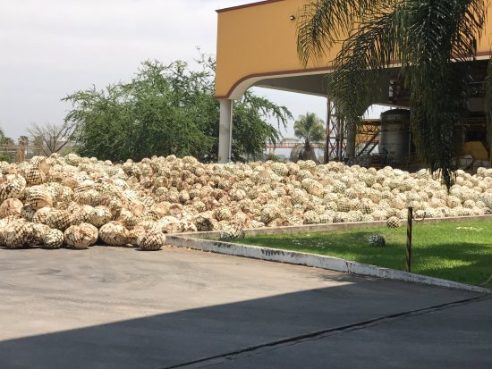Amatitán, México: A mountain of Blue Agave hearts (pina) ready for roasting