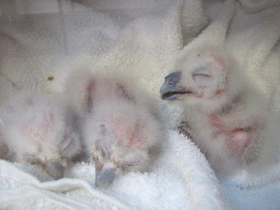 Kington, UK: Very baby owls