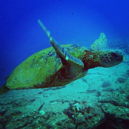 Koloa, Hawái: turtles everywhere!