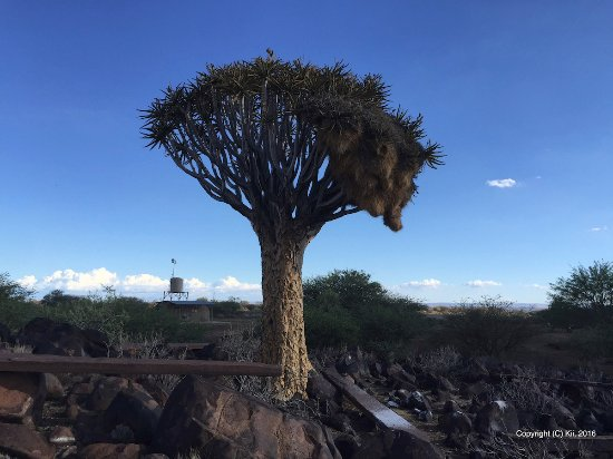 Keetmanshoop, Namibia: Quivertree