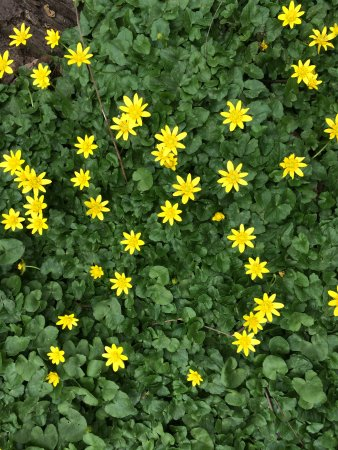 Rye Nature Center: lesser celandines