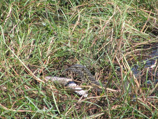 Kasane, Botswana: lizard