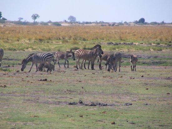 Kasane, Botsuana: zebras