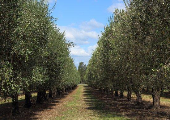 Muswellbrook, Australia: Olive garden