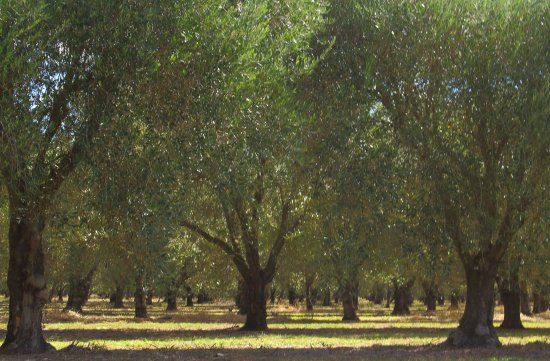 Muswellbrook, Australien: Olive garden