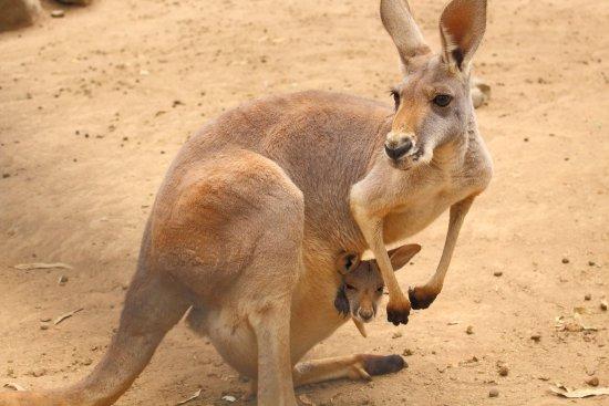 Currumbin, Australia: Kangaroo with joey