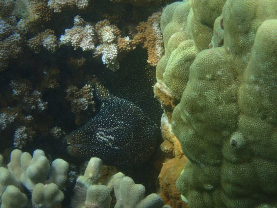 Kapalua, HI: Big old Moray showing scars and apparently missing an eye.