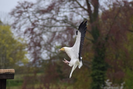 ‪‪Newent‬, UK: The Egyptian Vulture coming in to land! He gave a great flying display‬