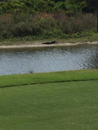 Venice, FL: Gator sunning himself by the 5th Tee box.