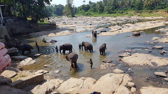 Pinnawala Elephants having a cool dip.