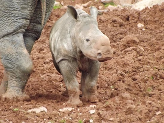 ‪‪Dalton-in-Furness‬, UK: baby Rhino such a cutie....‬