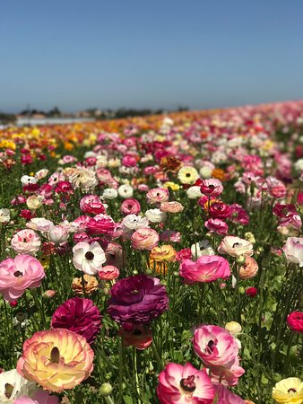 here are some of the flowers, mostly ranunculus.  picture of, Natural flower