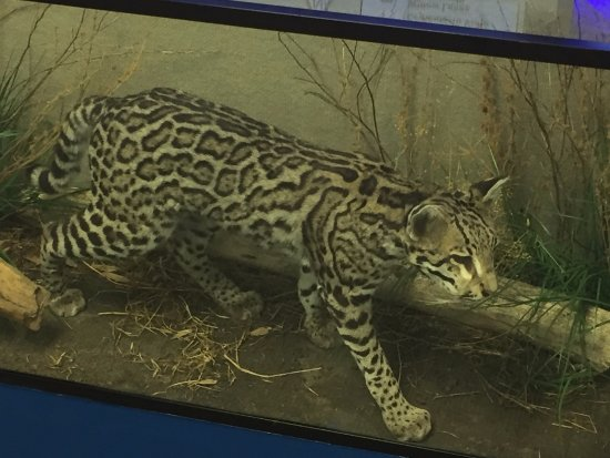 Alamo, TX: Ocelots live on the refuge - this is a visitor center display.