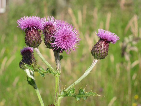 Selkirk, UK: Thistle