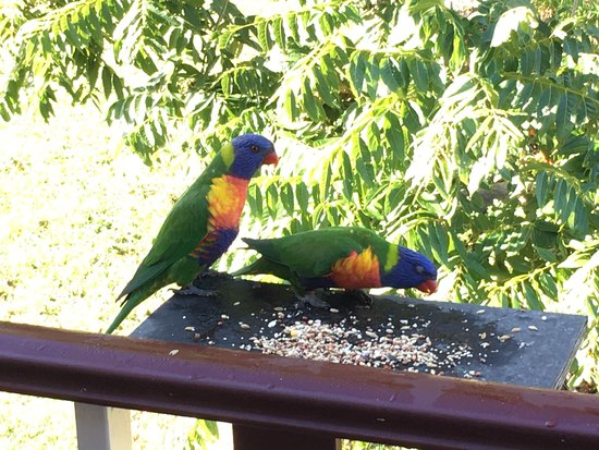 Moruya, Australia: Local native birds