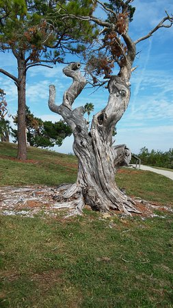 Oak Hill, Floryda: The tough tree at Seminole Rest