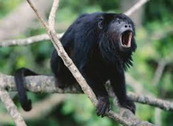 belize howler monkey in the wild picture of belize king of the