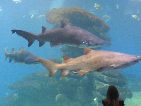 Great White Shark In Majorca