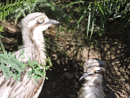 Tathra, Australia: Stone curlew