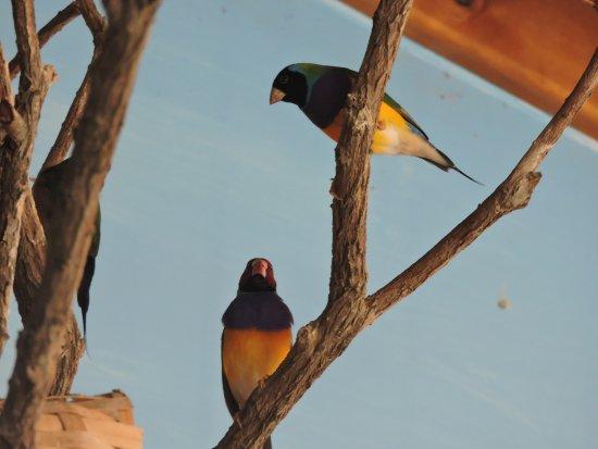Tathra, Austrália: Finches