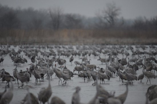 Grand Island, NE: View of river full of cranes outside the overnight blind