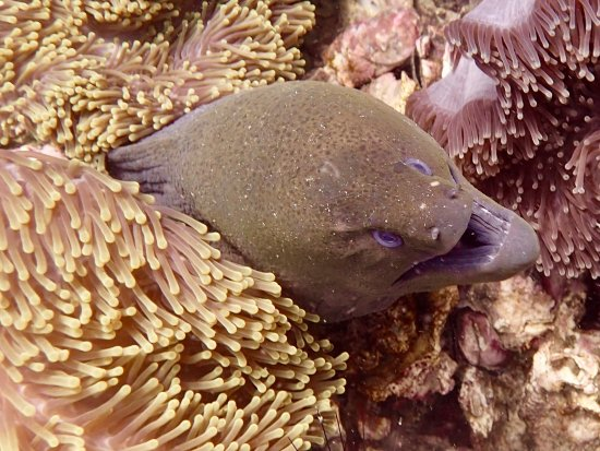 Super Divers: Moray Eel in the Anemone Carpet