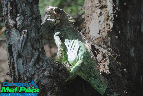 Iguana al Canopy Mal Pais