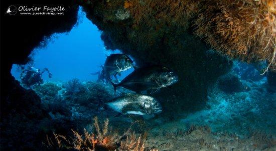 Cap Malheureux: Kingfish in mauritius
