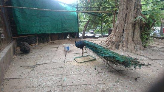 Kandawgyi Park : peacock