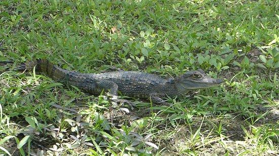 Commewijne District, Suriname: a caiman at the plantation