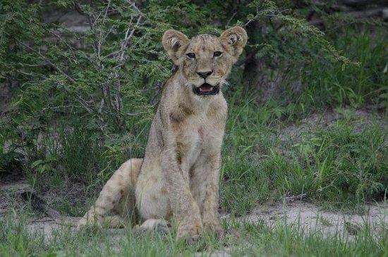 Makgadikgadi Pans National Park, Botswana: Lion CUb