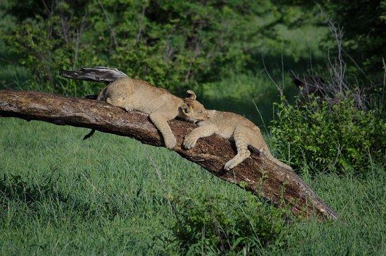 Makgadikgadi Pans National Park, Botswana: Playful Cubs