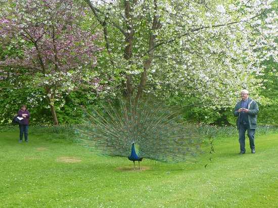 Corsham Court: Peacock displaying