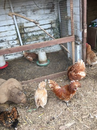 Wotter, UK: Hens and cocks at farmyard cafe