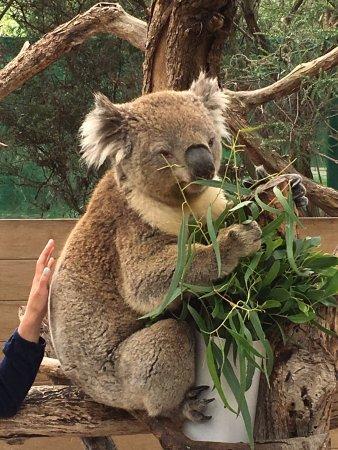 Pearcedale, Australien: Koala bear