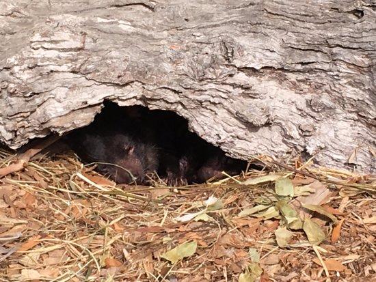 Pearcedale, Australien: Tasmanian Devil