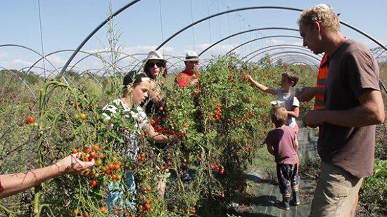 Saint-Georges-d'Oleron, Γαλλία: La cueillette de tomate à lieu généralement de juin à septembre