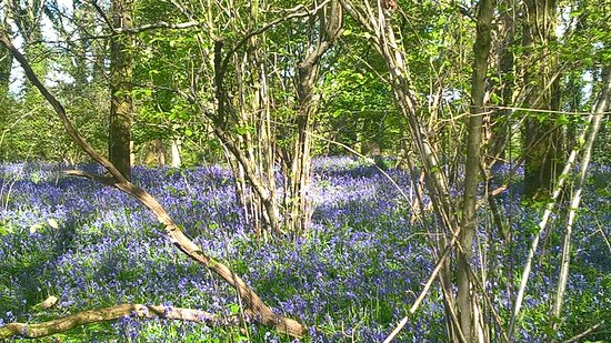 Wimborne, UK: Bluebell carpet in April