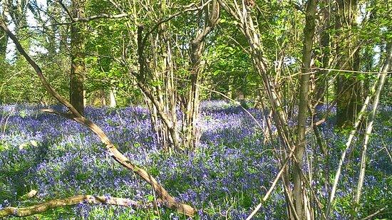 Wimborne Minster, UK: Bluebell carpet in April