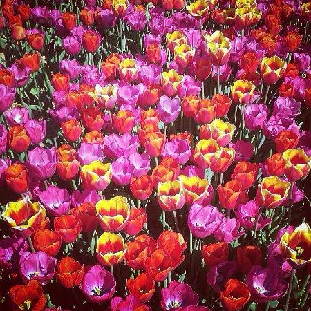 Tulipani italiani aprile picture of tulipani italiani for Tulipani italiani