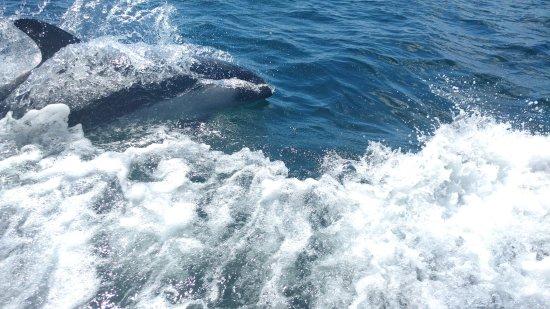 Melinka, Chile: Delfin Chileno, se puede apreciar en las costas de la isla