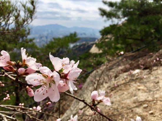 Inwangsan Mountain: Cherry Blossoms on Inwangsan