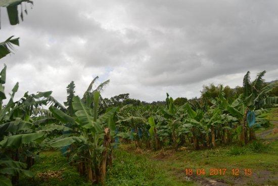 Le Lamentin, Μαρτινίκα: champs de bananiers